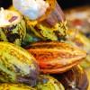 チョコレートとココアはココが違う!! カカオ豆の加工と歴史