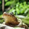 人間10人が死に至ると言われる凶悪な毒をもつ危険生物! 絶滅の危機にもあるその名は「モウドクフキヤガエル」!