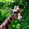 首が長いで有名な動物、キリンの睡眠時間はなんと20分!! 首の短いキリンが大昔に存在!?