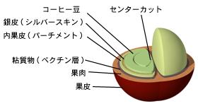 コーヒーの実と種の構造
