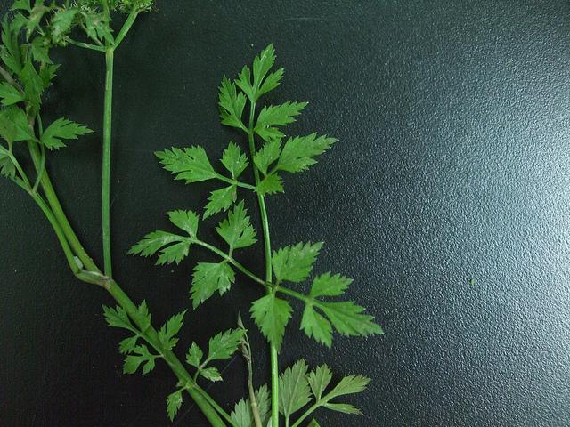 ¤ôªàµæ < ¤ôªàµæÄÝ < ðo§Î¬ì (Java Water Dropwort, Japanese parsley, Chinese celery)